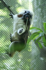 Cotton Top Tamarin (dbillian) Tags: nature animal animals monkey wildlife monkeys damon primate zoos tamarin primates tamarins singapoe damonbillian billian