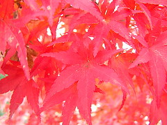 (girl_with_bear) Tags: autumn japan redleaves ilovethistree matsusato