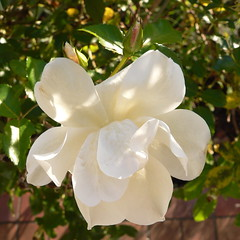 Rose Ende November (2) (oefe) Tags: november white rose wei globalwarming klimavernderung