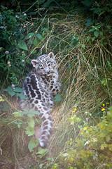 Snow leopard cub (Cloudtail the Snow Leopard) Tags: schneeleopard zoo neunkirchen tier animal mammal sugetier katze cat feline irbis snow leopard groskatze big panthera uncia cub kitten young jung