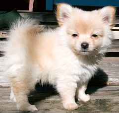 Visiting Pomeranian pu