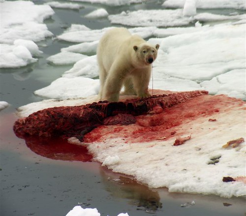 pictures of polar bears eating