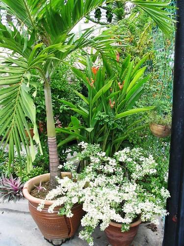 Manila Palm cracked its pot! by jayjayc.