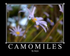 Camomiles (Jasya) Tags: flowers fdsflickrtoys globalvillage globalcity invitedphotosonly gvadminshalloffame itsabeautifulgv