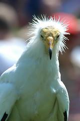 egyptian vulture (iPhotograph) Tags: bird wow geotagged d70 vulture birdofprey falconry 70200mmf28gvr egyptianvulture rosenburg tc17eii specanimal animalkingdomelite impressedbeauty geo:lat=4896056753431568 geo:lon=1167985471881744