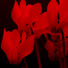 Nature's Shapes (Hart from Golborne) Tags: leica flower petal m8 bloom cyclamen 904 macroelmarm