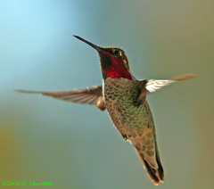 Anna's Hummingbird; Calypte anna (MissionPhotography) Tags: california fruits hummingbird orangecounty annas blend birdwatcher annashummingbird acai calypteanna monavie featheryfriday naturewatcher