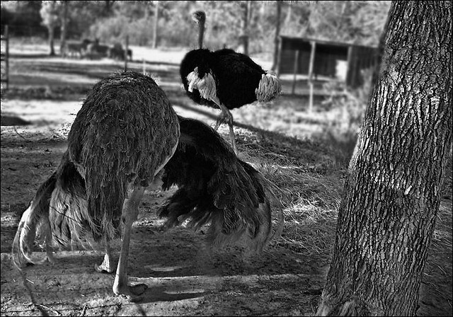 Snapshot Bin: Gator Park Ostriches (just a snap for the blog)