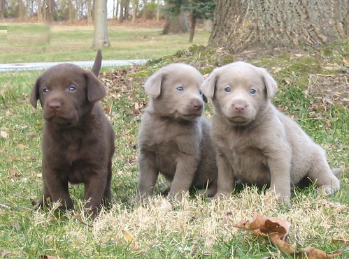 chocolate labrador puppies. silver chocolate Labrador