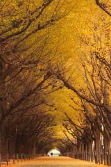 Ginkgo Trees (mrhayata) Tags: autumn tree leaves yellow japan geotagged tokyo blog ginkgo shrine 日本 東京 銀杏 aoyama イチョウ 並木 minato meiji jingu gaien 東京都 港区 北青山 mrhayata 明治神宮外苑 geo:lon=139719616 geo:lat=35674968