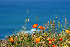 Proof for Summer (Sharon Mollerus) Tags: california flowers sea poppies mendocino bluff img7034