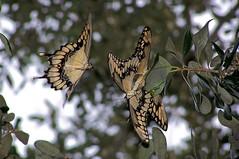 Giant Swallowtails mating (Carla Finley) Tags: nature wildlife butterflies giantswallowtail 3waychallengewinner flickrchallengegroup flickrchallengewinner