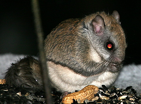 Flying Squirrels Added To Endangered List In Pennsylvania