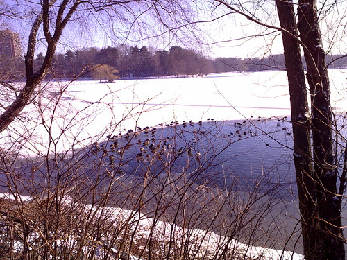 Jamaica Pond Ducks