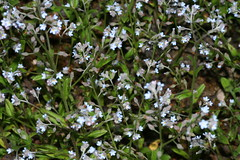 543832112 Forget-me-not 2007-06-12_20:33:26 Watlington_Hill