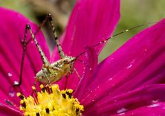 Nymph Bush Katydid (d'mur) Tags: macro bug katydid