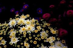 Spotlight is on (Mingfong) Tags: flowers autumn yellow spotlight story stories chrysanthemum yellowflowers    mingfongjan sketchoflight mingfongphotography