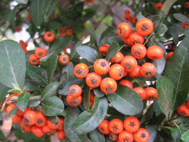 orange_berries