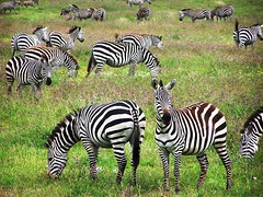Zebras in Ngorongoro Crater (geoftheref) Tags: world africa travel wild green heritage nature animal de tanzania la site interestingness interesting flickr wildlife unesco safari ngorongoro crater zebra afrika serengeti sites zebras  frica tanzanie lafrique tanznia  geoftheref dellafrica   afrikasafari
