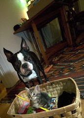 hmmm (blogjam_dot_org) Tags: dog bostonterrier houston montrose hawthorne kt peabo misterpeabody kittentown 77098