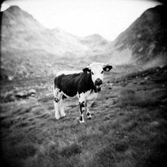 A friendly cow (Andrea [bah! la realt!]) Tags: bw alps film nature animal animals mediumformat cow holga hiking toycamera pasture squareformat vignetting alpi valdaosta interestingness13 i500 250v10f valdichamporcher address:country=italy film:iso=400 taxonomy:kingdom=animalia taxonomy:class=mammalia taxonomy:phylum=chordata film:format=120 taxonomy:genus=bos camera:model=holga120gfn taxonomy:order=artiodactyla taxonomy:family=bovidae film:type=negative film:name=ilfordhp5