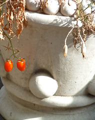 the last of the tomatoes, cascading from a pot