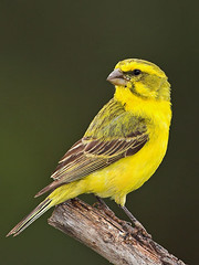 Yellow Canary (Crithagra flaviventris) (Nature Photographer) Tags: southafrica freestate s939 hennenman kingdomanimaliaanimals phylumchordatavertebrates classavesbirds orderpasseriformespasserinebirds familyfringillidaecanarylikebirds yellowcanary crithagraflaviventris geelkanarie r878 gelbbauchgirlitz canriodebarrigaamarela serindesaintehlne geelbuiksijs fbwnewbird fbwadded serinusflaviventris
