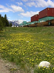 BH644 Train and Dandelions (listentoreason) Tags: plant canada flower nature train geotagged technology hiking events scenic places transportation banff activities