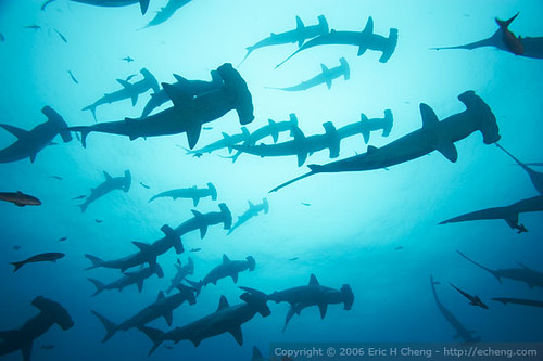 Scalloped hammerhead sharks at Darwin, Galapagos Islands