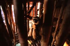 Gibbon No.5