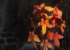 Autumn leaves (manganite) Tags: autumn red orange brown fall nature colors leaves digital germany geotagged nikon bravo colorful europe bonn seasons tl onecolor d200 nikkor dslr northrhinewestphalia 18200mmf3556 gtaggroup utatafeature manganite nikonstunninggallery challengeyou challengeyouwinner thecolororange geo:lat=5074321063223025 geo:lon=7105080478341467 date:year=2006 date:month=october date:day=15