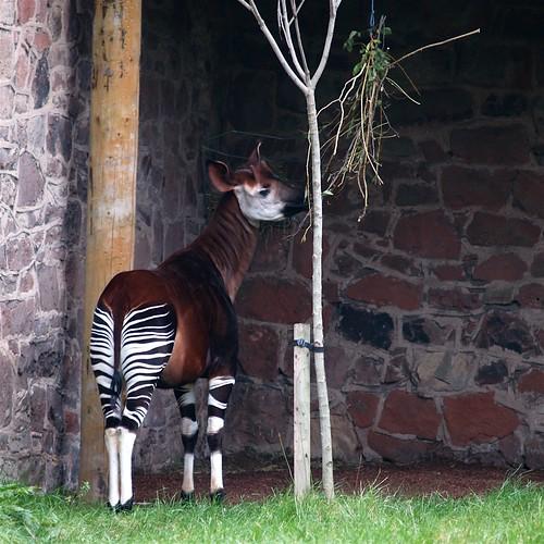 Okapi #2