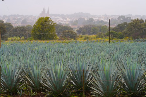 Field of Blue Agave (Agave tequilana)