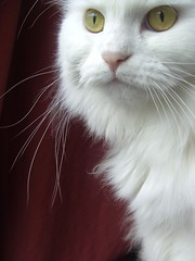 Emilly (mauzlover) Tags: red portrait pet cats pets white window topf25 beautiful animal animals closeup cat catwomen persian chats emily bravo feline chat lovely1 longhair topc100 gato stare katze weis katzen whitecat perser emilly cotcmostfavorited instantfave outstandingshots cc100 animaladdiction abigfave kittysuperstar kissablekat bestofcats cat1200 lofnov 5bestcats 5bestats impressedbeauty aplusphoto mauzlover
