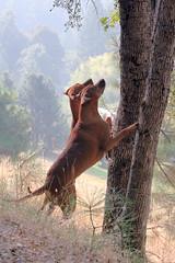 Hunting Gray Squirrel by MyRidgebacks