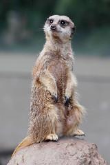 meerkat (ucumari photography) Tags: nature animal mammal zoo nc meerkat nikon october north d70s northcarolina 2006 nikond70s carolina nczoo asheboro northcarolinazoo asheboronc october2006 ucumari ucumariphotos ucumariphotography asheboronorthcarolina