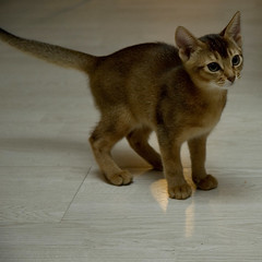 Sheherazade on the Floor (peter_hasselbom) Tags: cats cat kitten kittens abyssinian ruddy top20cats cc100 elevenweeksold