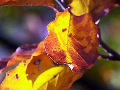 leaf2 (Navas) Tags: autumn trees leaves forest germany woods utatathursdaywalk28