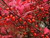 euonymous berries (Muffet) Tags: autumn dof utatathursdaywalk28