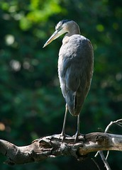 Watchful Eye (Don Baird) Tags: park blue white bird heron bravo picnic quality arboretum greatblueheron specanimal animalkingdomelite top20bokeh