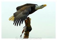 Bald Eagle landing 4 print (kbrowne) Tags: kite bird flying eagle hawk african wildlife flight baldeagle bald conservation american raptor owl vulture falconry