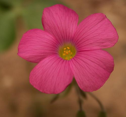 Pink flower oxalis weed macro mightylinksfo