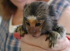 Pygmy Marmoset Monkey (Scott Kinmartin) Tags: baby monkey pygmymarmoset pygmy babymonkey impressedbeauty marmosetmonkey callitrichids