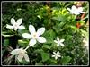 Wrightia antidysenterica (Snowflake, Milky Way, Arctic Snow)