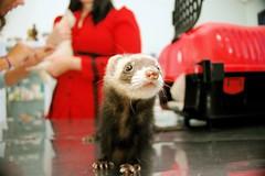Next in line for the vet (guioconnor) Tags: red pets nature animals ferret ferrets vet wildlife animalplanet gi veterinary anninha bebel gislaine impressedbeauty zocpets bebelportrait