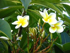 "frangipani • <a style=""font-size:0.8em;"" href=""http://www.flickr.com/photos/70272381@N00/295286439/"" target=""_blank"">View on Flickr</a>"