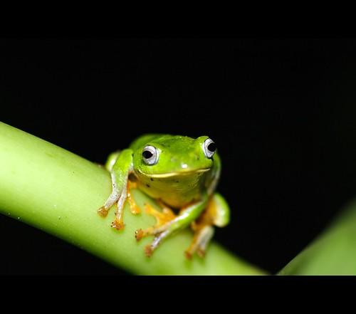 臺北樹蛙 Rhacophorus taipeianus  Liang & Wang, 1978