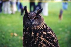 EAGLE OWL (D.Fletcher) Tags: eagle owl bird prey dbfletcher birdofprey nature raptor nikon bubo bubobubo d80 brightlight