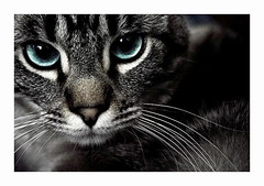 (parade in the sky) Tags: cute animal closeup cat nose grey furry blueeyes gray lucas whiskers bestofcats boc0207