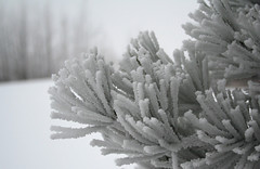 Peace, be still (withrow) Tags: winter canada pine hoarfrost alberta